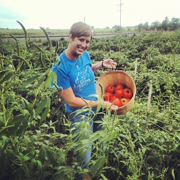 tomato picking 2012